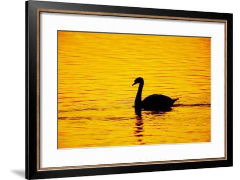 Mute Swan Sunset--Framed Art Print