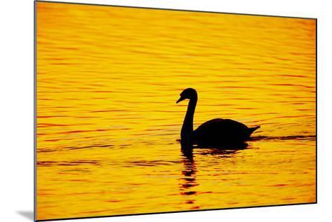 Mute Swan Sunset--Mounted Photographic Print