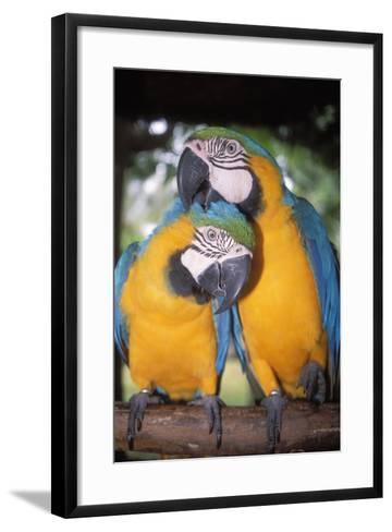 Blue and Yellow Macaws-Andrey Zvoznikov-Framed Art Print