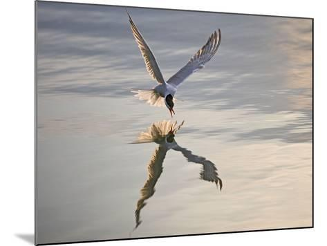 Common Tern Takes Fish at Sunset--Mounted Photographic Print