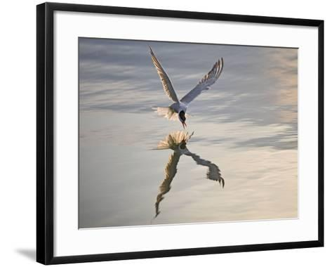 Common Tern Takes Fish at Sunset--Framed Art Print