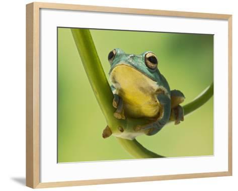 Blanford Tree Frog Gripping Plant Stem--Framed Art Print