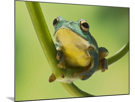 Blanford Tree Frog Gripping Plant Stem--Mounted Photographic Print
