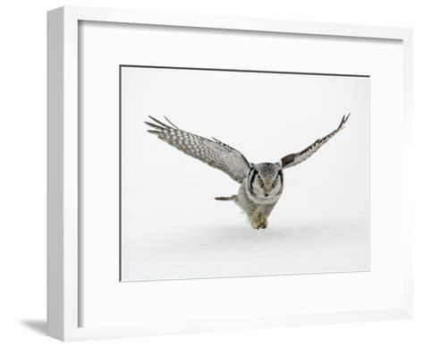 Hawk Owl in Flight over Snow--Framed Art Print