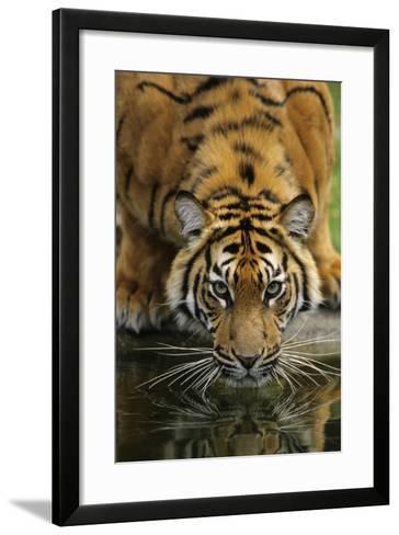 Sumatra Tiger Drinking, Portrait--Framed Art Print