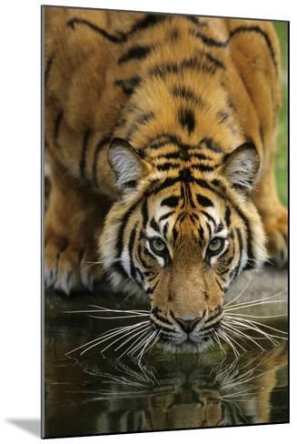 Sumatra Tiger Drinking, Portrait--Mounted Photographic Print