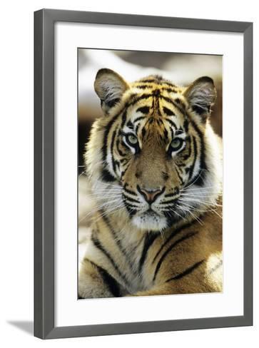 Sumatra Tiger Portrait--Framed Art Print
