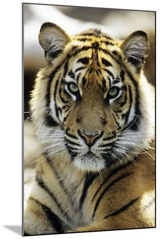 Sumatra Tiger Portrait--Mounted Photographic Print