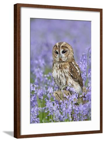 Tawny Owl on Tree Stump in Bluebell Wood--Framed Art Print