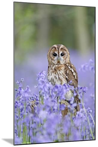 Tawny Owl on Stump in Bluebell Wood--Mounted Photographic Print