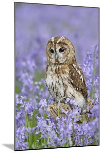 Tawny Owl on Tree Stump in Bluebell Wood--Mounted Photographic Print