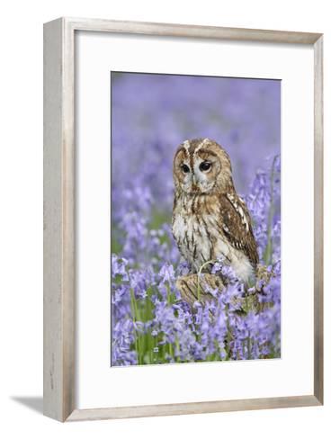 Tawny Owl on Tree Stump in Bluebell Wood--Framed Art Print