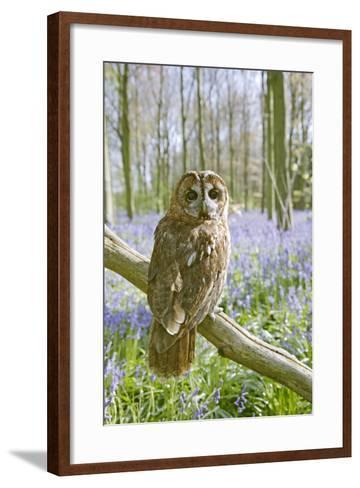 Tawny Owl in Bluebell Wood--Framed Art Print