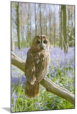 Tawny Owl in Bluebell Wood--Mounted Photographic Print