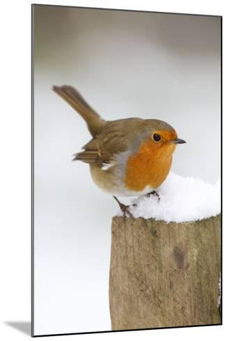 Robin on Post in Snow--Mounted Photographic Print