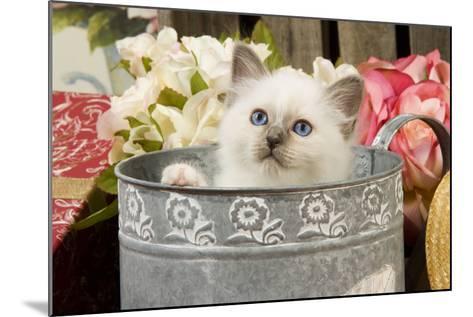 Birman Kitten--Mounted Photographic Print
