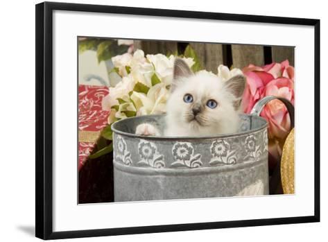 Birman Kitten--Framed Art Print