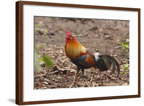 Red Jungle Fowl Male--Framed Art Print