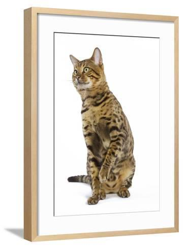 Bengal Brown Spotted Sitting in Studio--Framed Art Print