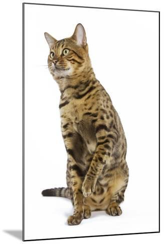 Bengal Brown Spotted Sitting in Studio--Mounted Photographic Print
