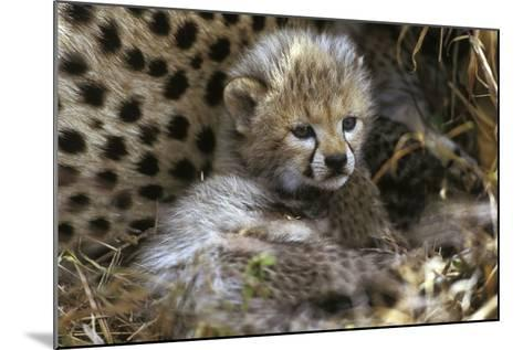 Cheetah Cub--Mounted Photographic Print