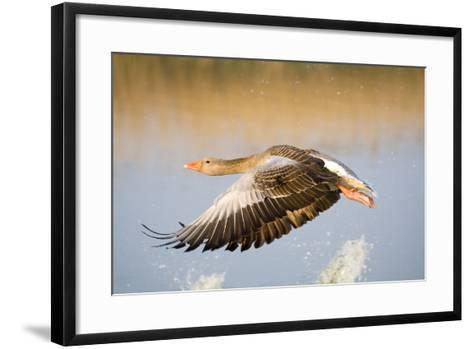 Greylag Goose in Flight--Framed Art Print