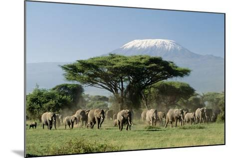 African Elephant Herd Infront of Mt, Kilimanjaro--Mounted Photographic Print