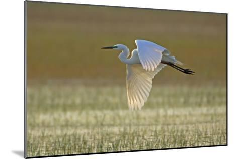 Great White Egret in Flight over Water Meadow--Mounted Photographic Print