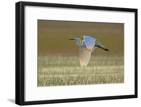 Great White Egret in Flight over Water Meadow--Framed Art Print