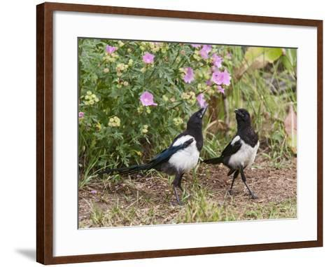 Magpie Youngsters Interacting in Garden--Framed Art Print