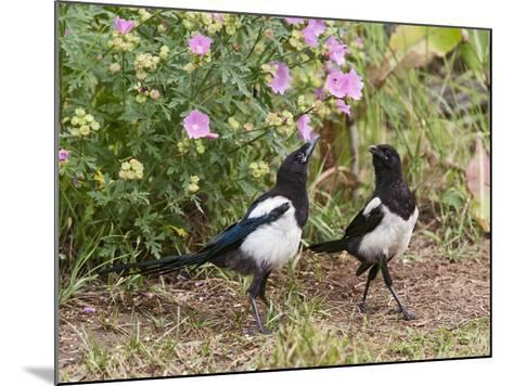 Magpie Youngsters Interacting in Garden--Mounted Photographic Print