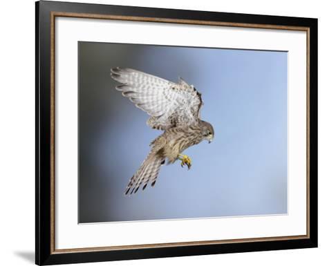 Common Kestrel Hovering--Framed Art Print