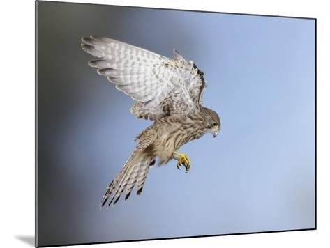 Common Kestrel Hovering--Mounted Photographic Print