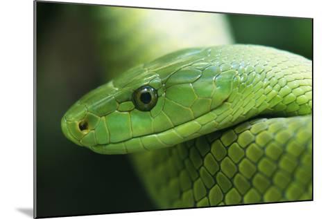 Western Green Mamba Snake--Mounted Photographic Print