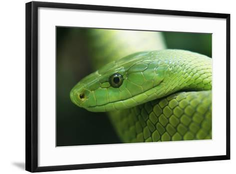 Western Green Mamba Snake--Framed Art Print