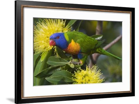 Rainbow Lorikeet Feeding--Framed Art Print