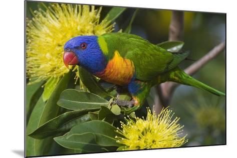 Rainbow Lorikeet Feeding--Mounted Photographic Print