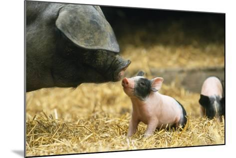 Domestic Pig Haellisches Pig--Mounted Photographic Print