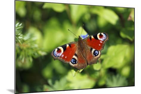 Butterfly, Peacock Resting on Flower in Garden--Mounted Photographic Print