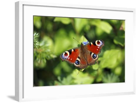 Butterfly, Peacock Resting on Flower in Garden--Framed Art Print