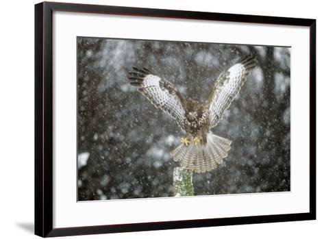 Buzzard Landing in Snow Shower--Framed Art Print