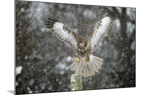 Buzzard Landing in Snow Shower--Mounted Photographic Print