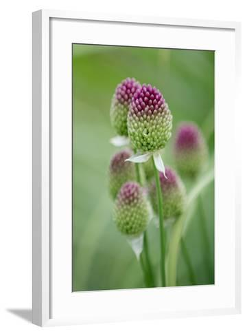 Round-Headed Leek Much Loved by Bees--Framed Art Print