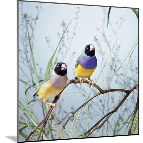Black-Headed Gouldian Finch Pair--Mounted Photographic Print