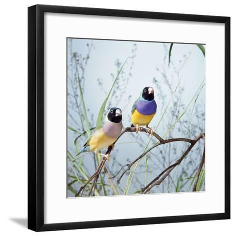 Black-Headed Gouldian Finch Pair--Framed Art Print