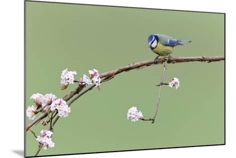 Blue Tit Perched on Flowering Viburnum Bush in Garden--Mounted Photographic Print