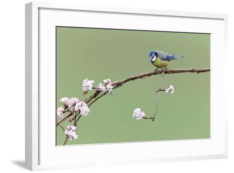 Blue Tit Perched on Flowering Viburnum Bush in Garden--Framed Art Print