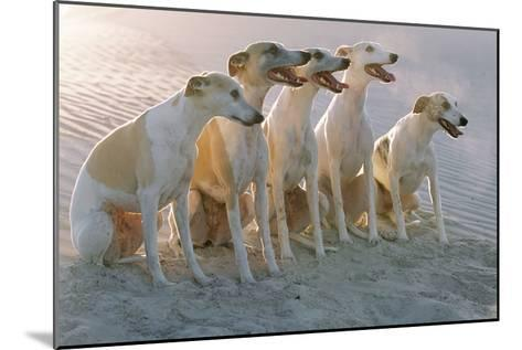 Whippets Group of Sandy Beach--Mounted Photographic Print