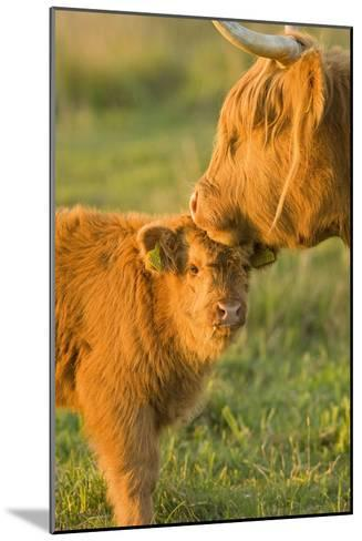 Highland Cattle, Adult with Young--Mounted Photographic Print