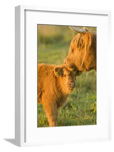 Highland Cattle, Adult with Young--Framed Art Print